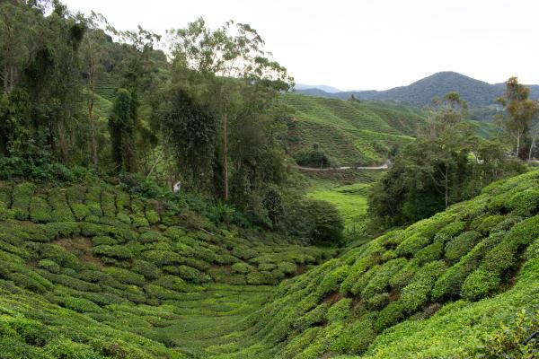 World Travelers - Cameron Highlands - image 57