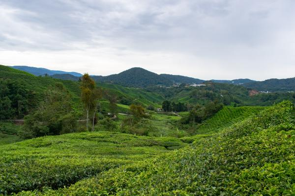 World Travelers - Cameron Highlands - image 56