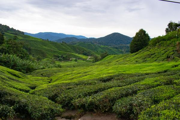 World Travelers Cameron Highlands